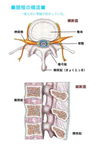 脊髄断面図