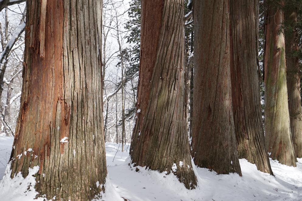 杉の木肌もアートのように思えてきます