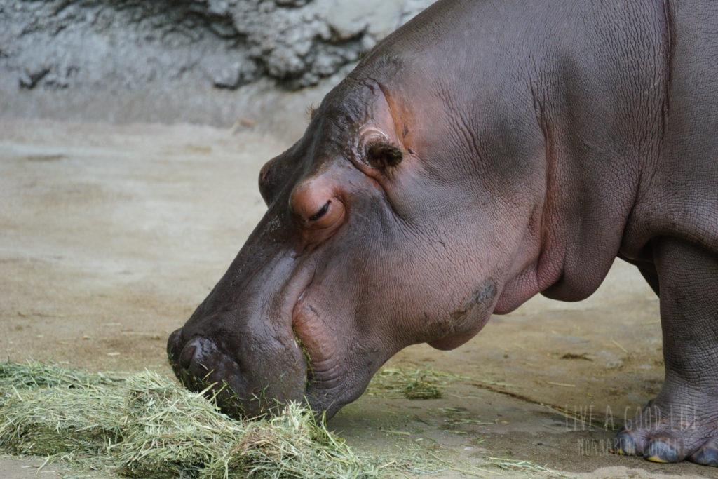 天王寺動物園のカバ