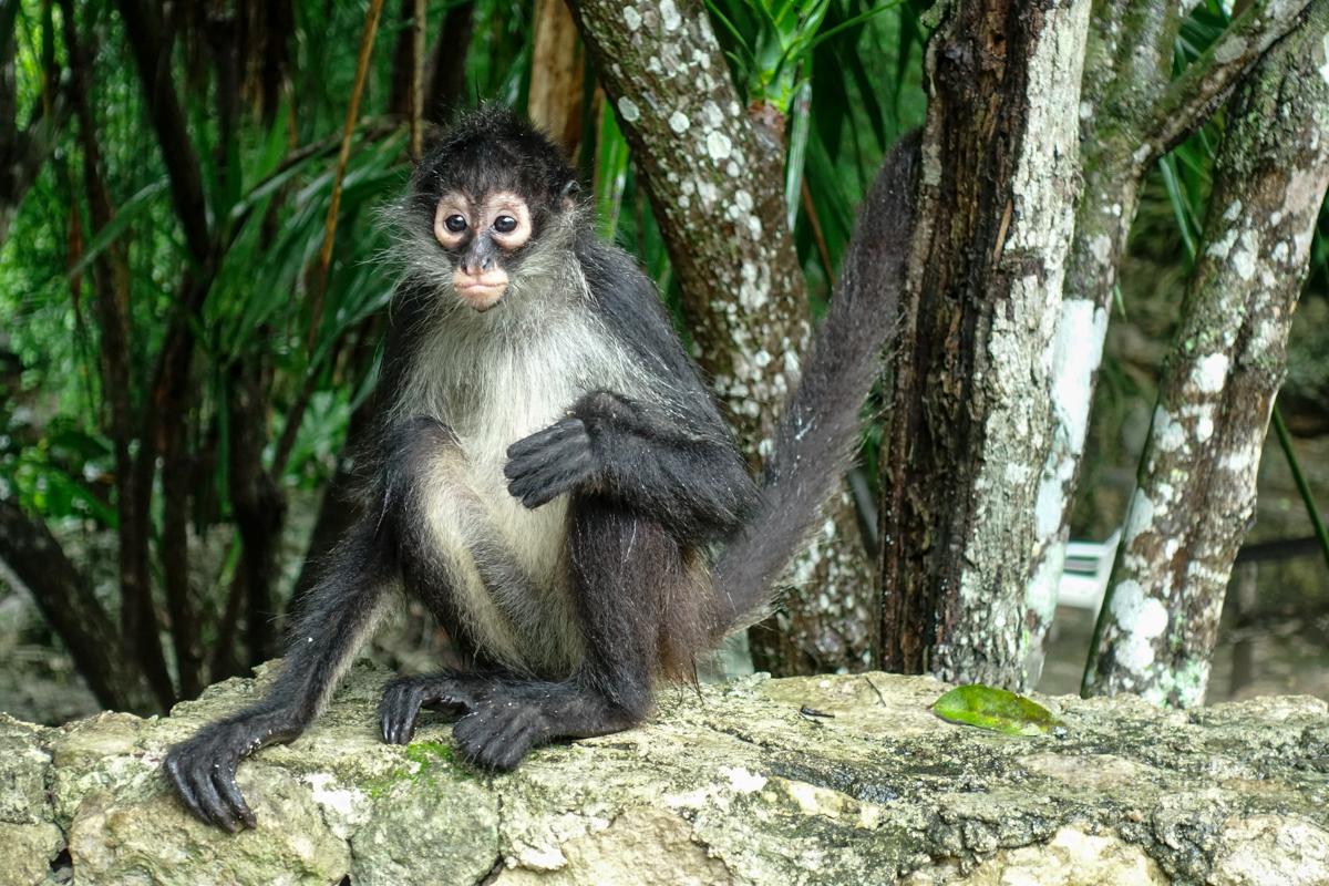 メキシコの猿