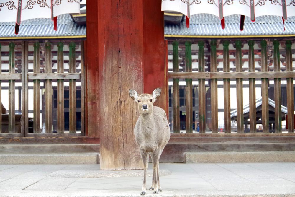 東大寺前の子鹿ちゃん