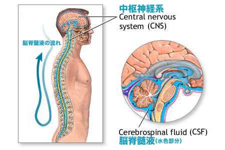 「脳脊髄液」の画像検索結果